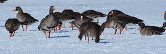 IMG_4897-1 Greater White-fronted Geese (John Pohl2011) Tags: bird canon john goose waterfowl 100400mm pohl t4i 100400mmlens canont4i