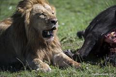 Lion with kill (Exposure Tours) Tags: nikon lion safari 200mm d810