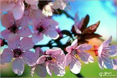 PETALES ET COULEURS (Gilles Poyet photographies) Tags: fleurs arbre printemps soe auvergne beaumont puydedme autofocus aplusphoto artofimages rememberthatmomentlevel1