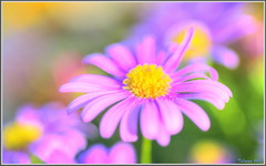 Spring is here!!! (tdlucas5000) Tags: california flowers flower color macro colors yellow spring view purple bokeh side daisy pollen hdr creamy photomatix