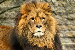 Lion - Linton Zoo