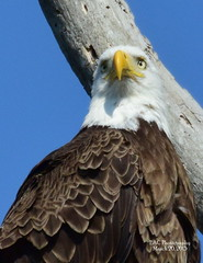 Harriet (EAC Photography) Tags: eagles