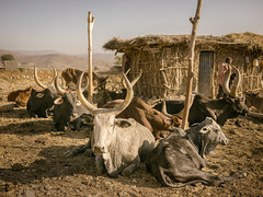 That's Some Bull (departing(YYZ)) Tags: africa travel house tourism animal yellow zeiss rural outside mammal countryside cow sitting cattle beef sony flock group poor horns impoverished bull meat 55mm pasture daytime longhorn fe ethiopia alpha a7 domesticated developing eastafrica tigray sonnartfe55mmf18zalens