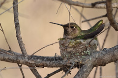 Anna's Hummingbird_03_21_15_San Diego National Wildlife Refuge_Spring Valley CA 254-1-2 (Ryan Rubino) Tags: ca anna spring san hummingbird wildlife diego national valley annas refuge calypte