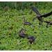 Lesser whistling ducks in action
