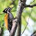 Dinopium javanense, Common flameback (female) - Kaeng Krachan National Park