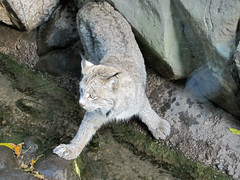Lynx (1) (bookworm1225) Tags: zoo october minnesotazoo 2013 tropicstrail minnesotatrail
