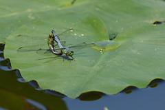 Tandem Pondhawks (dbifulco) Tags: male female florida dragonfly mating tandem odonata easternpondhawk bocaciegamilleniumpark
