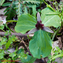 Trillium on the Mossy Ridge Trail (mikerhicks) Tags: usa geotagged trillium spring unitedstates nashville hiking tennessee wildflowers flowersplants percywarnerpark warnerparks vaughnsgap sigma18250mmf3563dcmacrooshsm canoneos7dmkii geo:lat=3607574833 geo:lon=8687676167