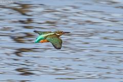 Kingfisher1 (Fredrik.Norling) Tags: bird birds canon sigma kingfisher fglar fgel kungsfiskare 150600 sigma150600 canon5dmarkiii sigma150600mm sigma150600mmf563dgoshsmsports