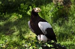 San Diego - Day 3 (Zoo 2) (MorboKat) Tags: california bird animal zoo sandiego eagle aves sandiegozoo animalia birdofprey seaeagle haliaeetus accipitridae haliaeetuspelagicus stellersseaeagle accipitriformes hpelagicus
