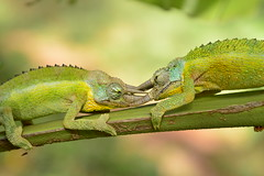 Fight (Leela Channer) Tags: africa blue two plant tree cute male green nature animal yellow fight scary bush kenya reptile turquoise wrestling horns double lizard bite shrub fighting creature chameleon territorial threehorned