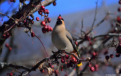 Stunning Bohemian Waxwing (Bombycilla garrulus) - ~250 present in New London, NH (Steve Arena) Tags: winter bird birds nikon newhampshire d750 newlondon waxwing songbird songbirds bombycillagarrulus bohemianwaxwing 2015 bowa irruption bombycillidae irruptive