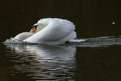 Mute Swan (warren hanratty) Tags: nature wildlife gloucestershire muteswan cygnusolor cotswoldwaterpark eos7d warrenhanrattyphotography