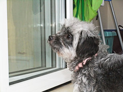 dog chihuahua window puppy lost poodle hybrid poochi chipoo choodle chipoodle