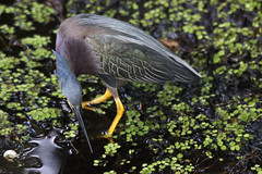 Green Heron (DFChurch) Tags: life park wild green bird heron nature water animal florida feather swamp cypress slough fortmyers butoridesvirescens sixmile