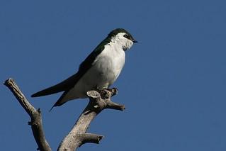 Violet-green Swallow, Tachycineta thalassina, Ridgeway State Park, Eldredge Colorado, Photo by Wes