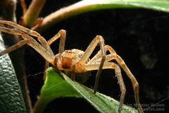 Wolf Spider on a Leaf (Vern Krutein) Tags: life nature animal fauna natural arachnid exoskeleton creature arthropoda arachnida invertebrate arthropod pider araneida animilia oesd01013