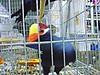 Aves - Pássaros (12) (jemaambiental) Tags: horse dogs birds fauna hamster cavalos cachorros coelho pássaros tigres macacos picapau ursos suricatas periquitos urubú escorpião faisão poneis chipanzés esqueletodecobra
