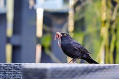 Blackbird (Josef Jgerstedt) Tags: blackbird d7100 samyang135mmf2