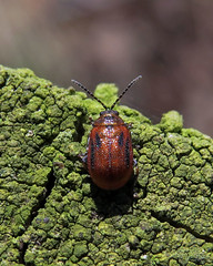 Hawthorn Leaf Beetle, Finglandrigg Wood Nature Reserve, 8 April 15 (gillean55) Tags: camera wood bridge macro nature canon leaf north beetle reserve powershot cumbria hs hawthorn superzoom nnr crataegi finglandrigg sx50 lochmaea