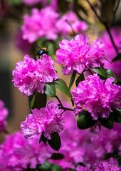 Spring in Virginia (Riverkayak) Tags: flowers canon virginia spring bees lynchburgva canon7d