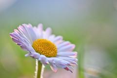 Vadvirágos (DoubleZphoto) Tags: sunset flower macro nature canon bokeh blumen micro f2 60mm tamron tavasz lovenature virag natureshot 500d flowerporn canon500d makró macroporn natureporn