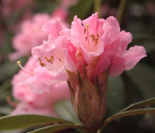 Rhododendron Christmas Cheer