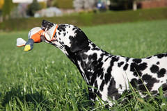 Beutegreifer (blumenbiene) Tags: dog white playing black game dogs female walking fun meadow wiese hund schwarz dalmatian hunde spaziergang spielen dalmatiner weis hndin