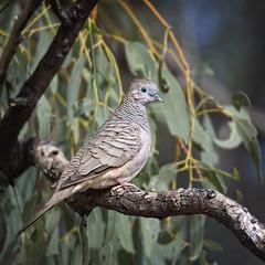 a peaceful dove (Fat Burns  (gone bush)) Tags: bird fauna dove australianbird geopeliastriata barcaldine australianfauna peacefuldove aliceriver nikond750 sigma150600mmf563dgoshsmsports sigmateleconvtc1401nik