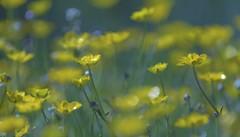 BC wildflowers (yuanxizhou) Tags: flower color art field yellow garden spring seasons artists wildflowers squamish summerflower springflower beautifulbritishcolumbia flowerphotography