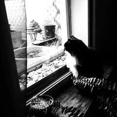La belle vie... (woltarise) Tags: pets animals cat chat gatto littledoglaughednoiret