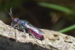 Chrysis gracillima (bego vega) Tags: madrid macro animal insect wasp tronco vega cuckoo vf bv cuco bego insecto avispa hymenoptera chrysididae himenoptero crisdido