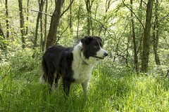 Pops in the green woods (Keartona) Tags: trees england dog green grass woods derbyshire watching poppy bordercollie