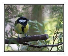 Great Tit (Seven_Wishes) Tags: uk tree bird animal branch outdoor foliage perch nationaltrust gibside greattit newcastleupontyne tyneandwear gardenbirds jdo britishbirds edoliver photoborder 7wishes canoneos5dmark3 newcastleupontynenortheast canonef100400mmf4556lisii 7wishesphotography