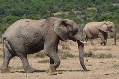 Suedafrika-53 (Lukas P Schmidt) Tags: elephant addo nationalpark elephantpark