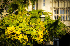 Gingko tree in the grounds of New College, Oxford (judy dean) Tags: leaves university oxford gingko newcollege 2016 judydean sonya6000