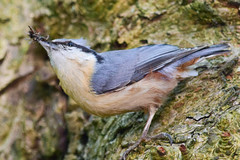 Nuthatch with a mouthfull ( Queens Park Heywood ) (Terry Angus) Tags: bird flies nuthatch
