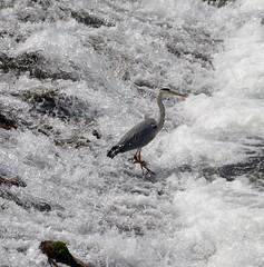 Airone sulle rapide del fiume - Heron on the river rapids (giorgiorodano46) Tags: italy bird heron river nikon fiume may rapids uccello valeggio veneto borghetto rapide 2016 mincio airone borghettosulmincio maggio2016 giorgiorodano