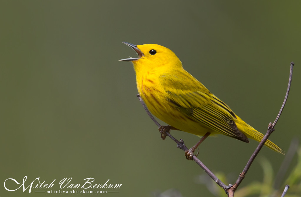 The Epitome Of Spring II (Yellow Warbler)
