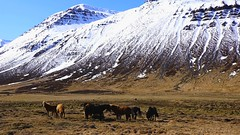 the hardiest of all Icelanders (lunaryuna) Tags: mountain snow ice nature animals season landscape iceland lunaryuna earlyspring icelandichorses northiceland northfjords seasonalwonders