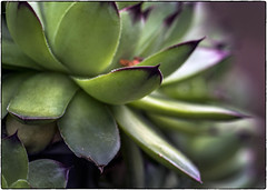 Succulent (NoJuan) Tags: closeup succulent close adapter a7 extensiontube nikkorlens extensiontubes lensadapter sonya7 sonya7withmanualfocuslens
