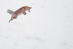 Winterfuchs (bobby3101985) Tags: schnee red fox fuchs musejagd winterfuchs