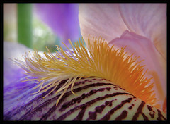 Bartiris (karin_b1966) Tags: iris plant flower macro nature garden blossom natur pflanze blume makro blte garten 2016 bartiris yourbestoftoday