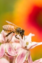 Honeybee on Milkweed (KarenLynnForsyth) Tags: bokeh milkweed flowers nature flower gaillardia mastergardener red bug blossoming blooming blanketflower oregon honeybee bee pink eyes wings black green pollinator yellow orange white