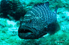 Portrait (kyshokada) Tags: canon underwater scuba diving powershot caribbean roatan reef animalplanet grouper