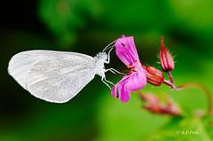 Leptidea sinapis (alvarof.polo) Tags: leptideasinapis mariposas buttterflies lepidptera lepidpteros papilionoidea pieridae