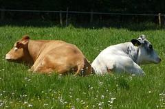 Yes, we know the pasture is large enough to lie further apart..... (2) (joeke pieters) Tags: cow cattle cows vee koe koeien panasonicdmcfz150 1270345