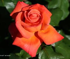 Rose Christoph Columbus - Insel Mainau June 2016 01 (reineckefoto) Tags: summer sun flower color colour rose sommer blume bodensee sonne mainau lakeconstance rosenblüte inselmainau flowerphotography blumenfotografie ralfreinecke rosenblüteinselmainau2016