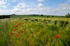 Les orages sont passs (Excalibur67) Tags: red green landscape rouge nikon contemporary sigma vert d750 paysage papaver coquelicots pavots